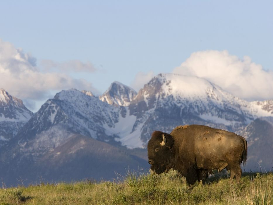 American nature animals bison Montana wallpaper 1600x1200 933x700