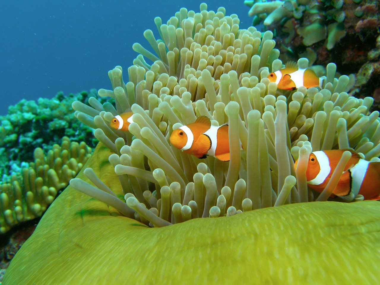 Clown fish wallpaper hd wallpapersafari for Swimming fish screensaver