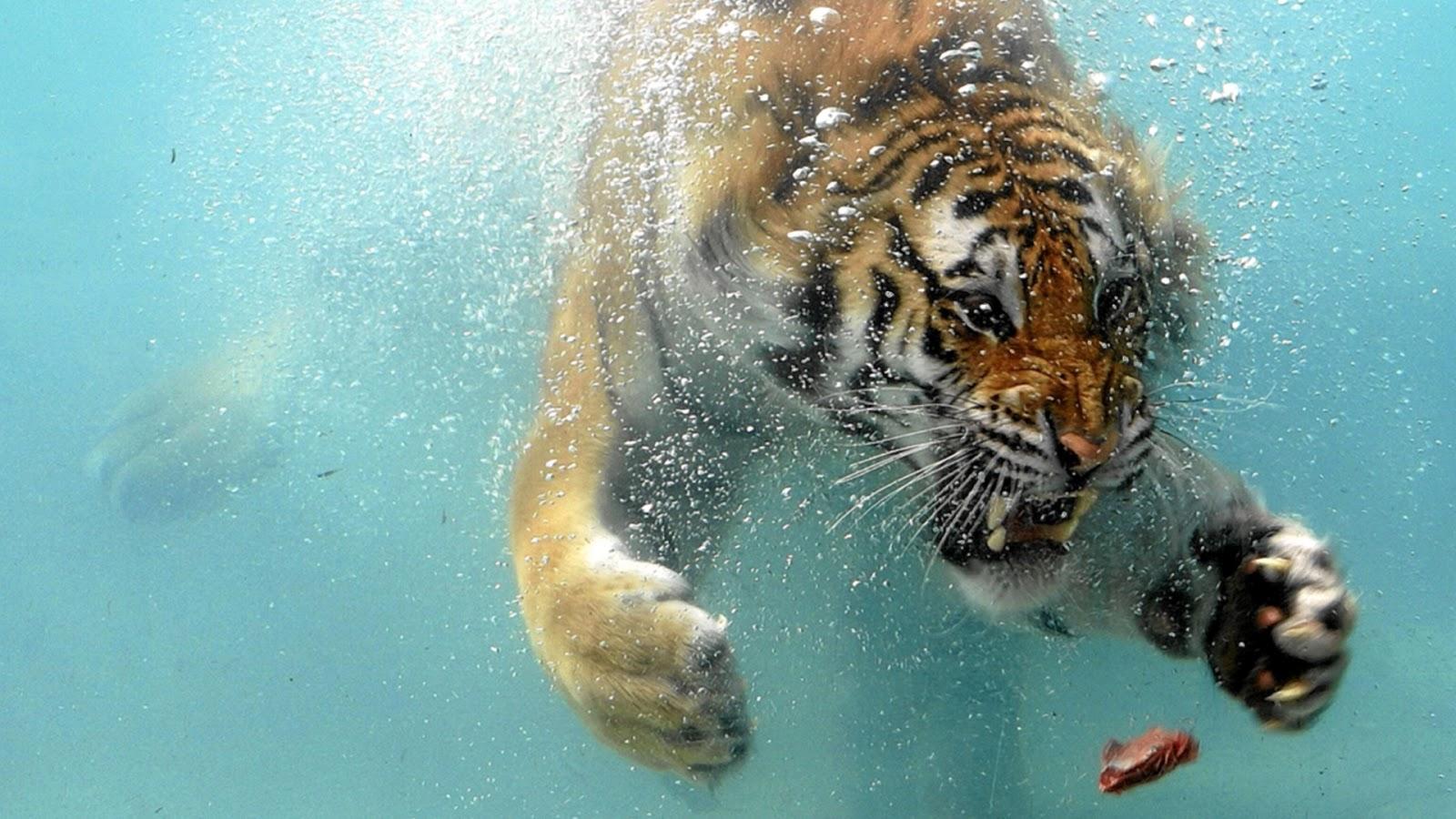Download Wallpaper HD white tigerbeautiful tigerhd tiger 1600x900