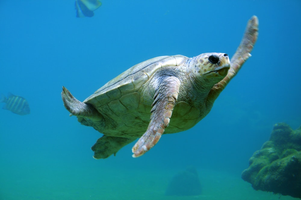 100 Sea Turtle Pictures Download Images on Unsplash 1000x667