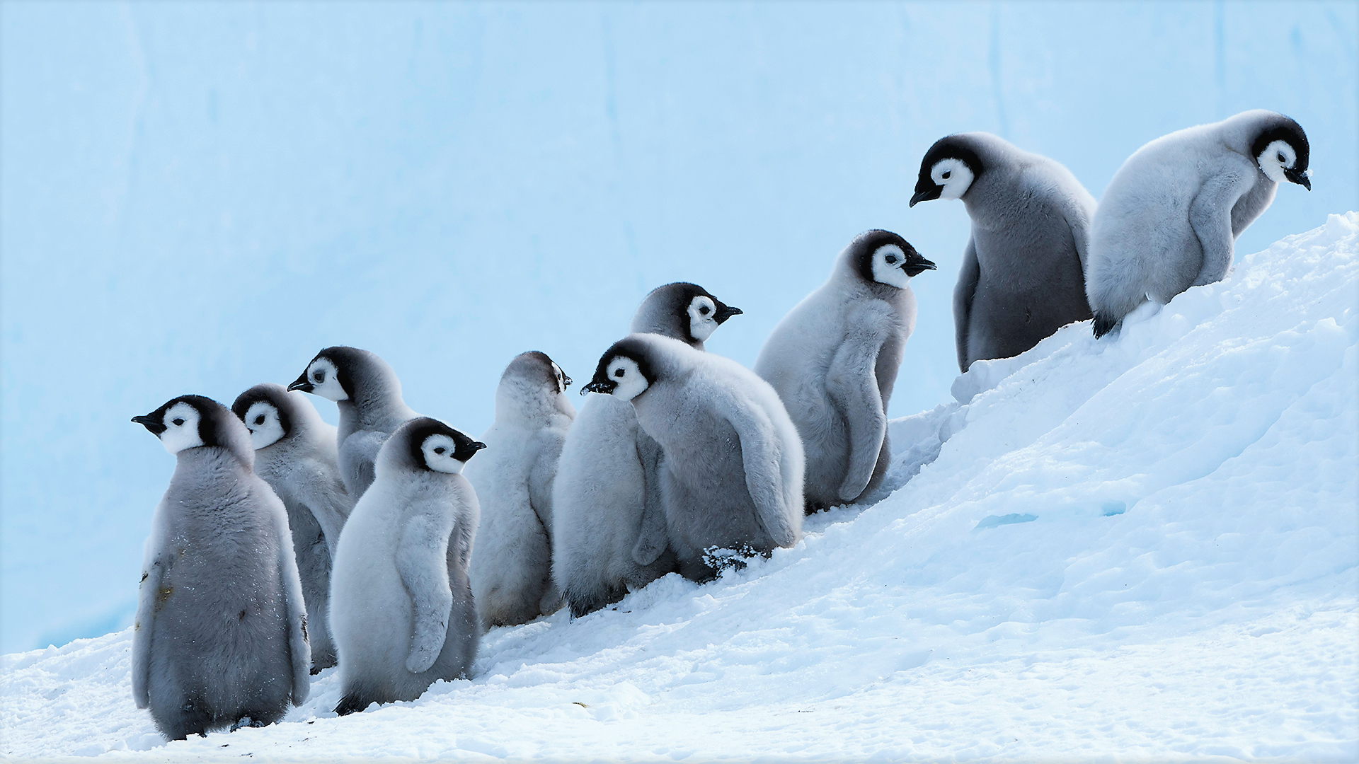 Adorable Baby Penguins in Snow Wallpaper   Wallpaper Stream 1920x1080