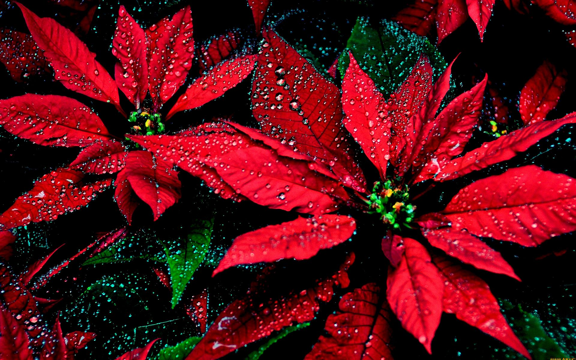 Poinsettia HD Wallpaper Background Image 1920x1200 ID370645 1920x1200