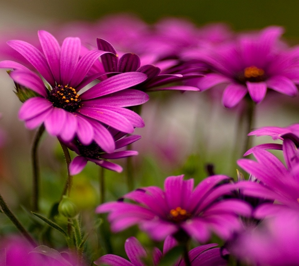 mobile wallpapers for colorful flower wallpapers 960x854