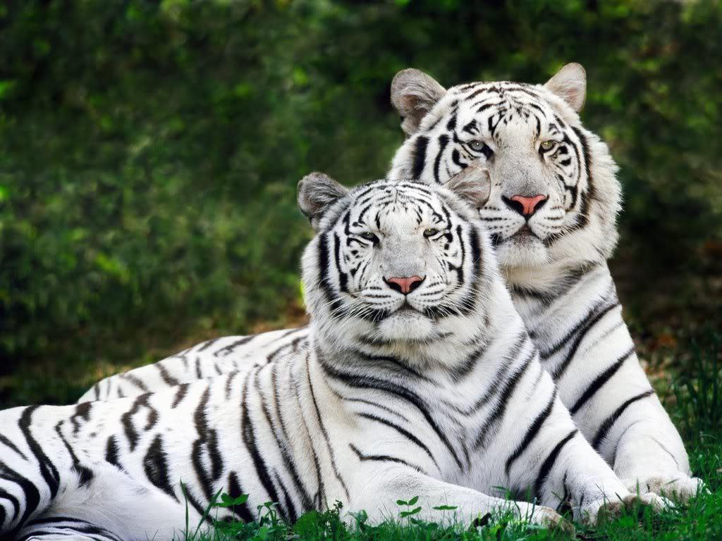 Tiger Wallpaper   Tigers Wallpaper 9981553 1024x768