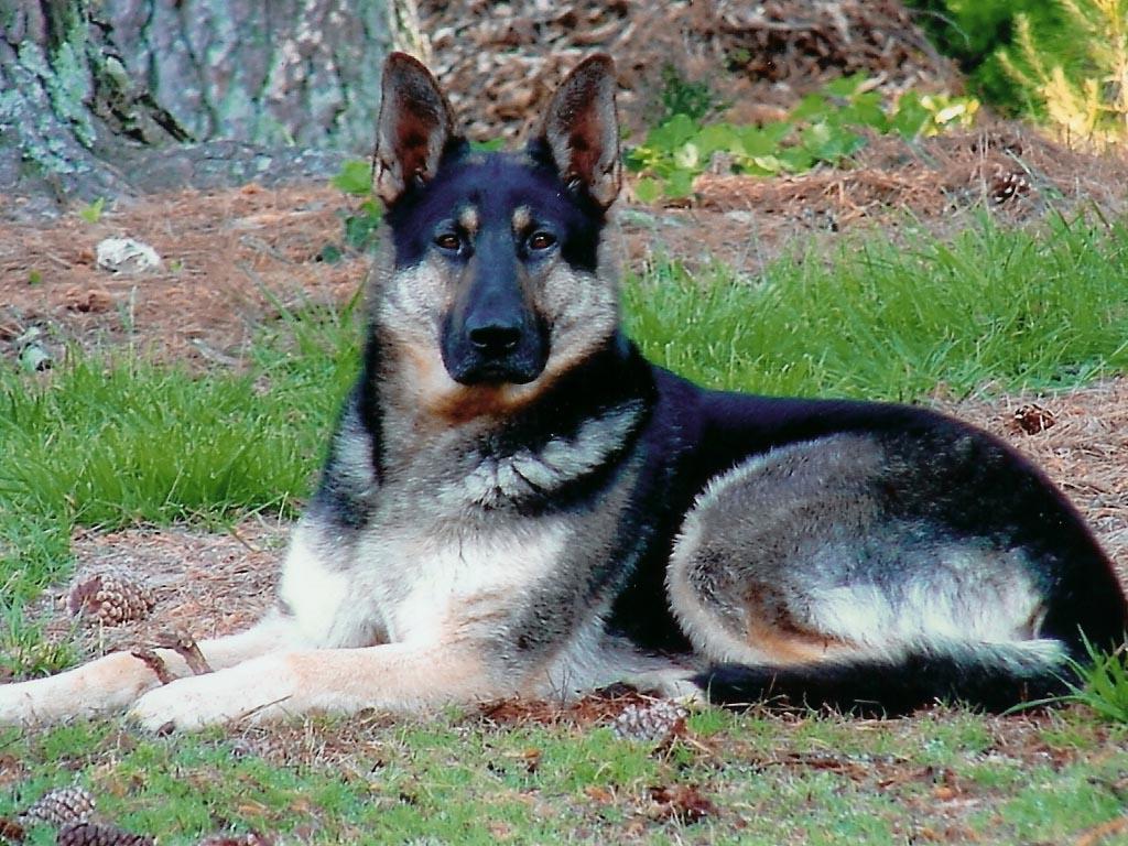 German Shepherd Dog Wallpaper   Pictures 1024x768