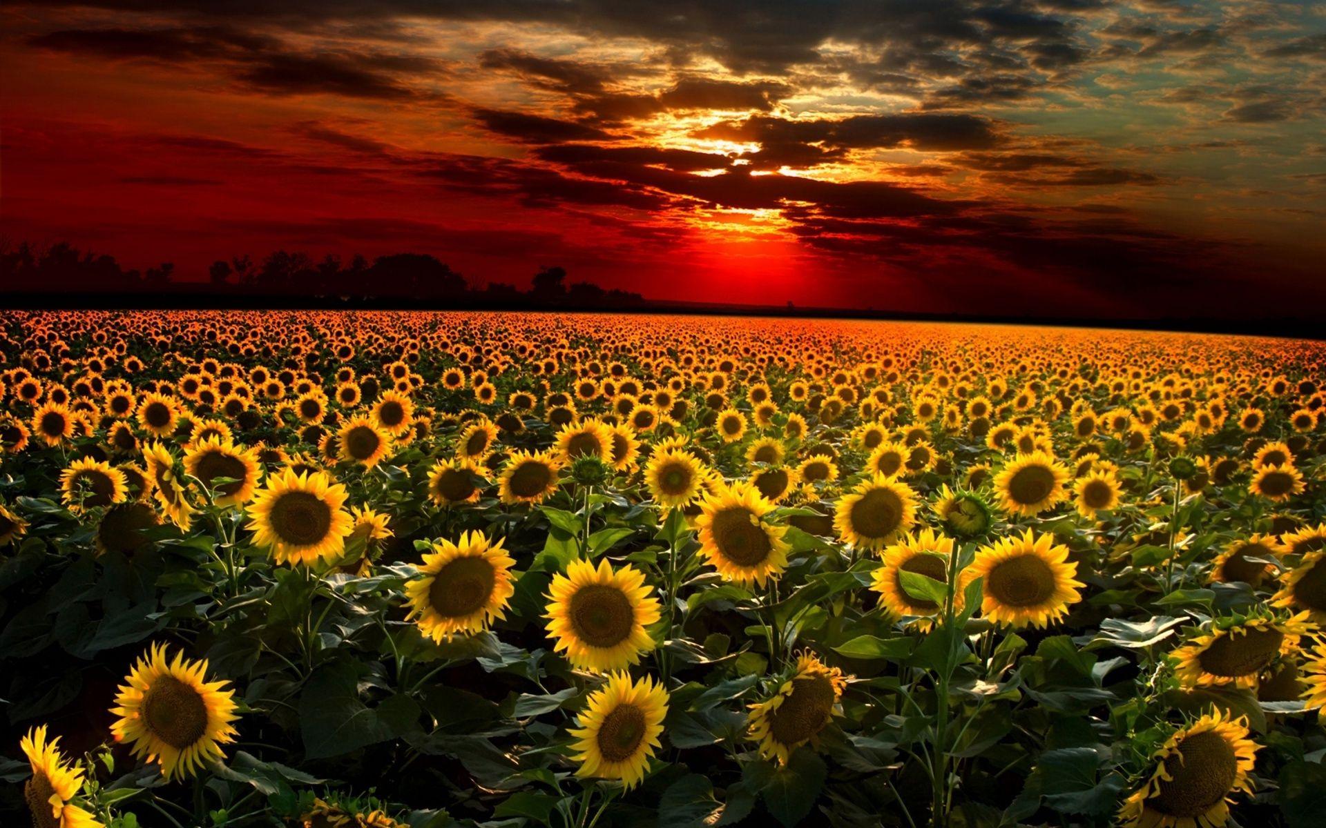 89+ Field Of Sunflowers Wallpapers on WallpaperSafari