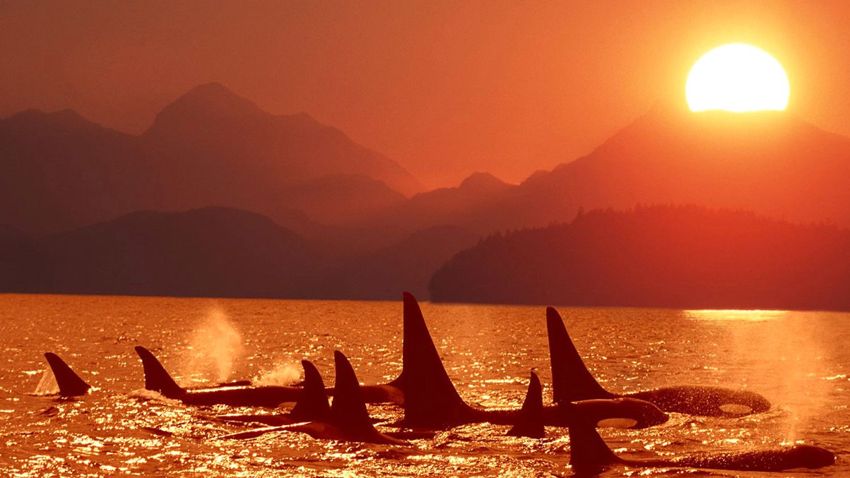 Whales In The Twilight HD Animal Wallpapers Pet Love Amazing 1203x677