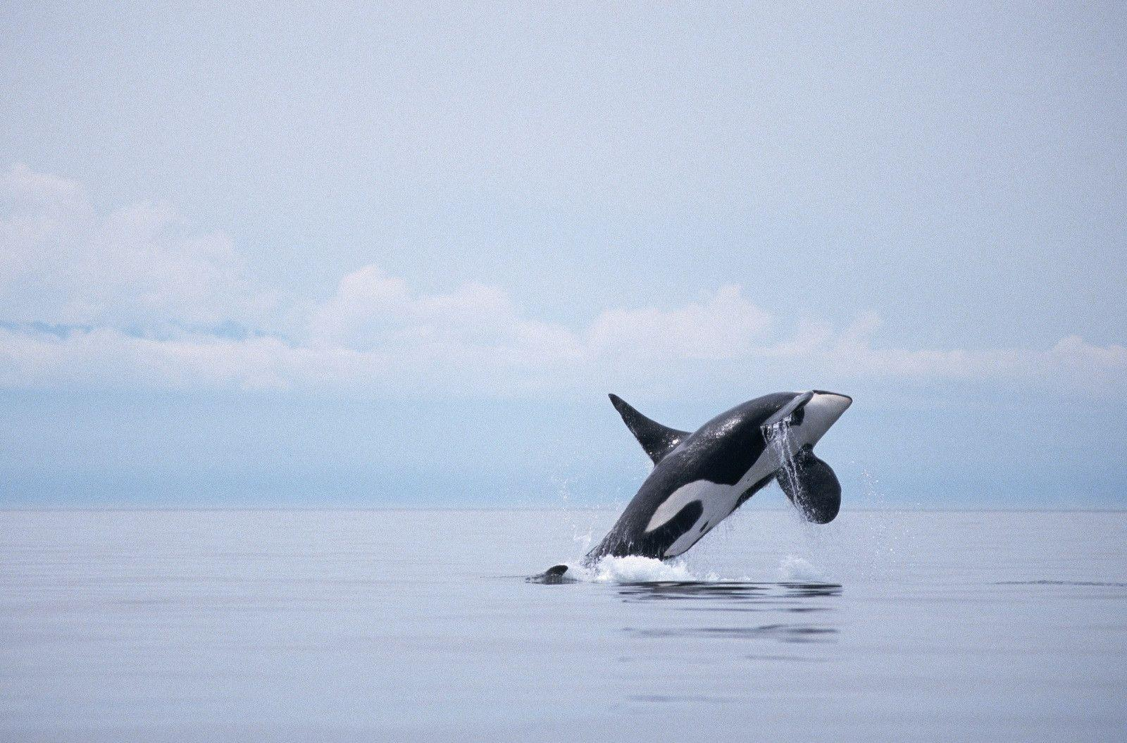 Killer Whales Wallpapers 1600x1055