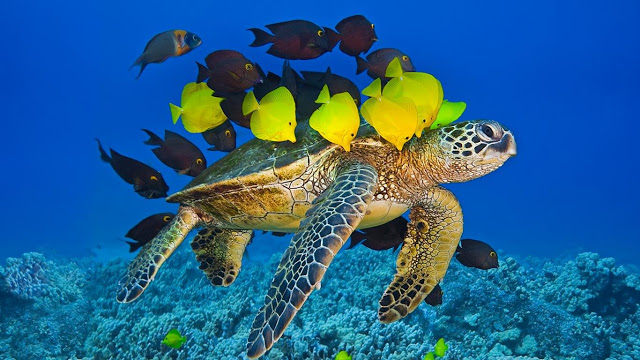 Green sea turtle being cleaned by reef fish off the Kona Coast Big 640x360