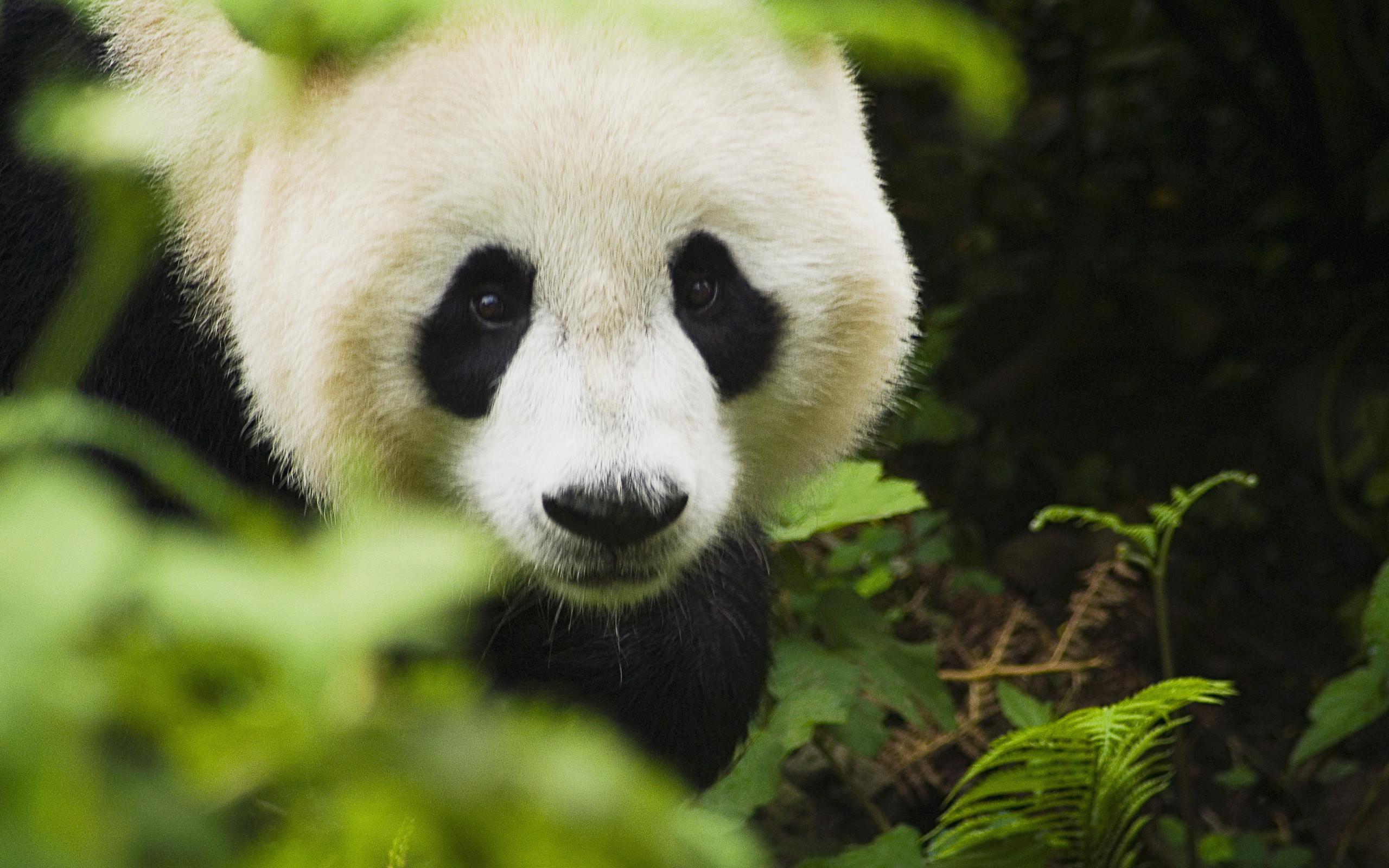 Cute Panda Face Wallpaper IPhone Wallpaper WallpaperLepi 2560x1600