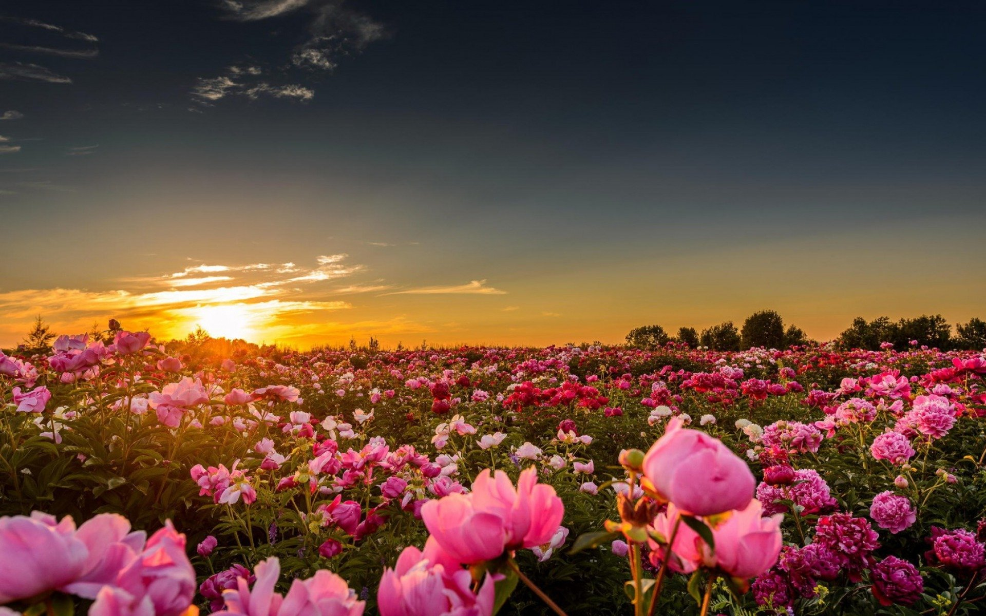pink peonies in the sunset flower hd wallpaper 1920x1200 10742 1920x1200