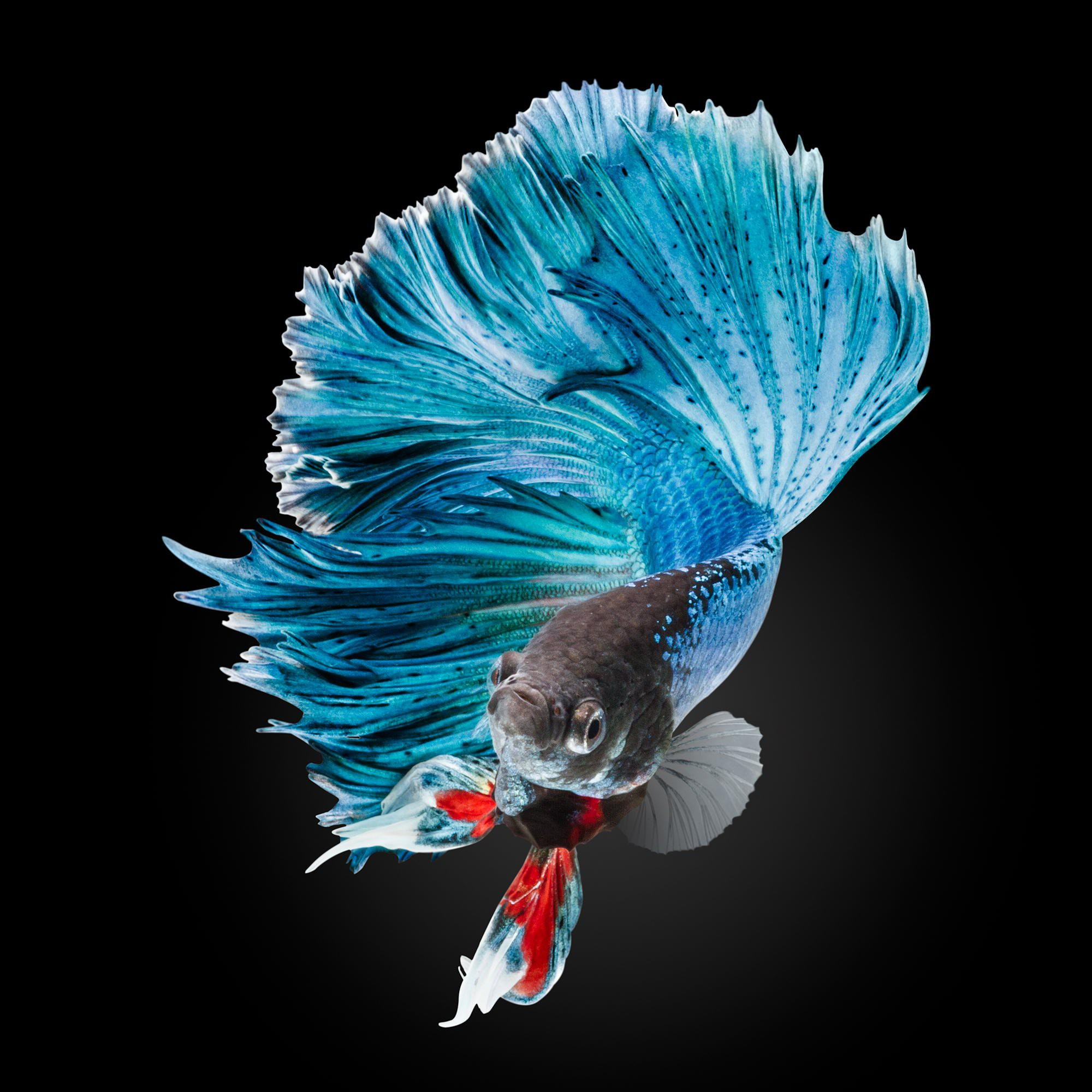 Betta Fish Hd Wallpapers Desktop Computer Download 2000x2000