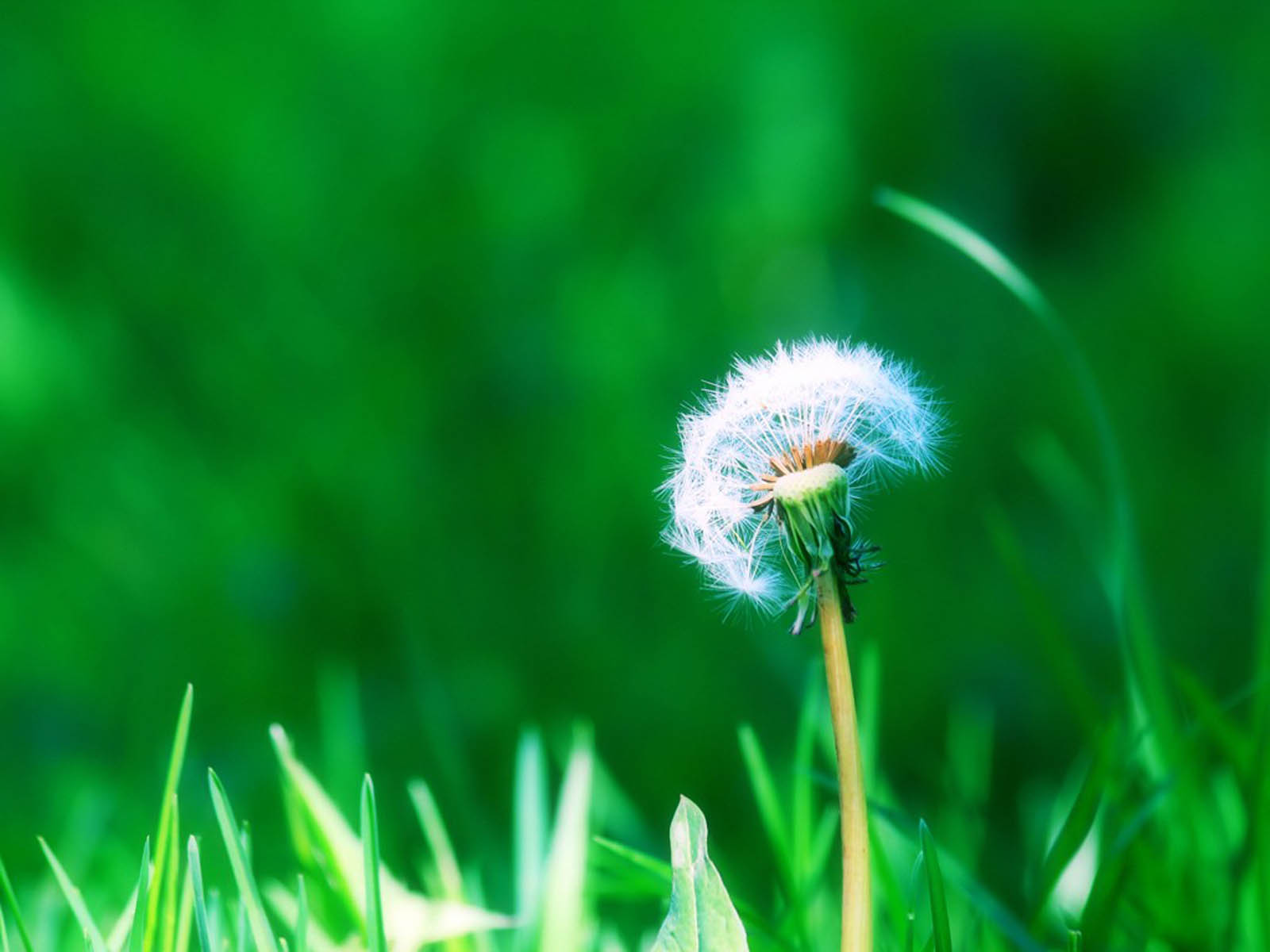 Desktop Wallpapers Dandelion Flowers Desktop Backgrounds 1600x1200