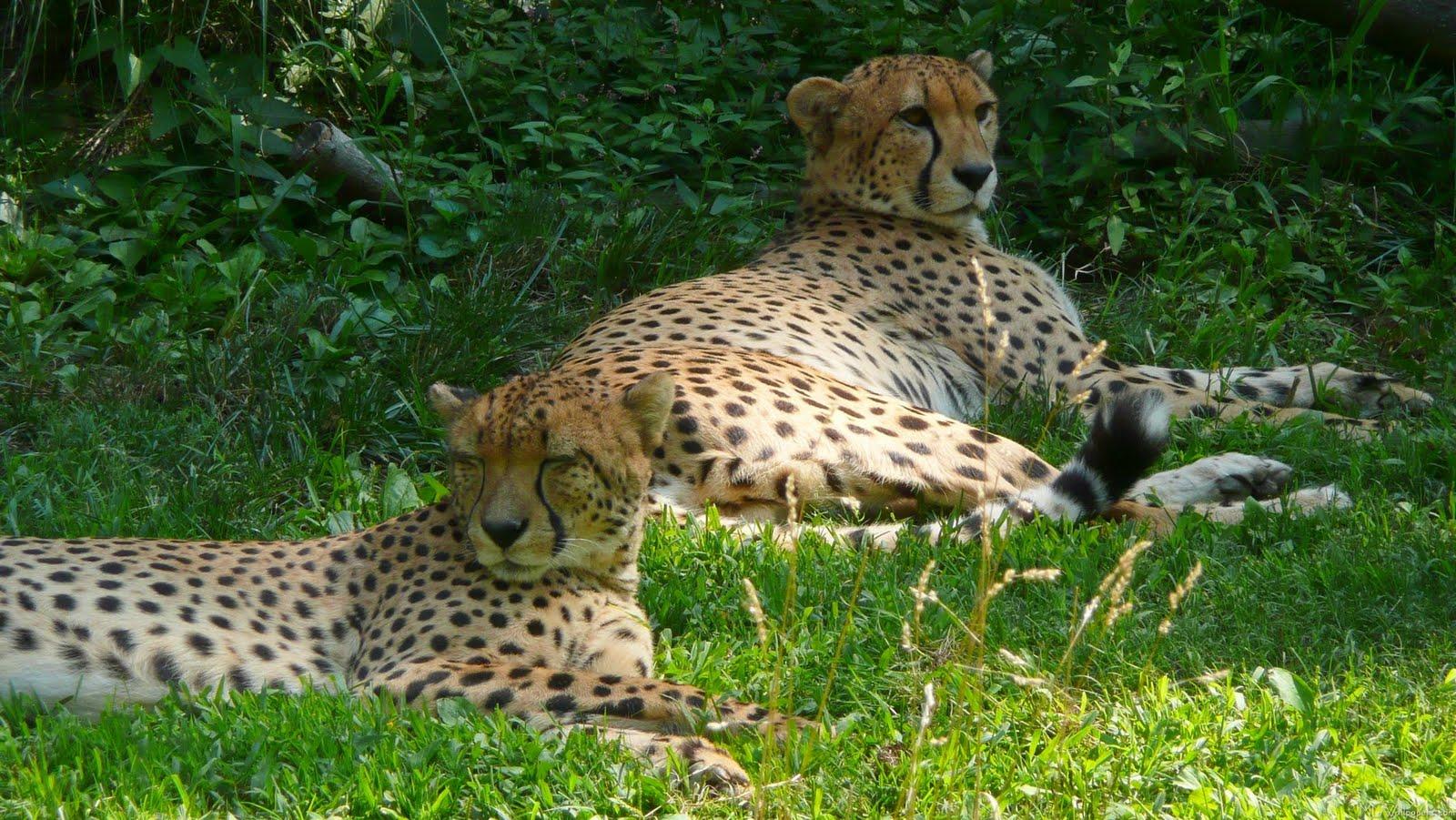 <b>Gepard</b> Animal Hd Wallpapers For Mobile Phones And <b>Laptops</b> ...