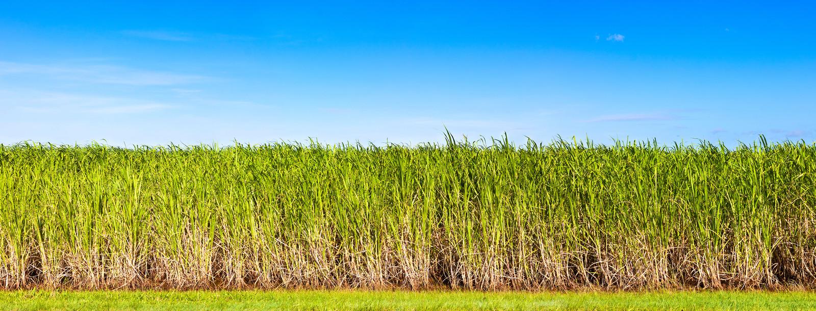 Sugar Cane 1600x610