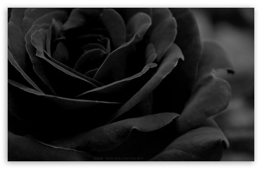 Black Rose HD wallpaper for Standard 43 Fullscreen UXGA XGA SVGA 510x330
