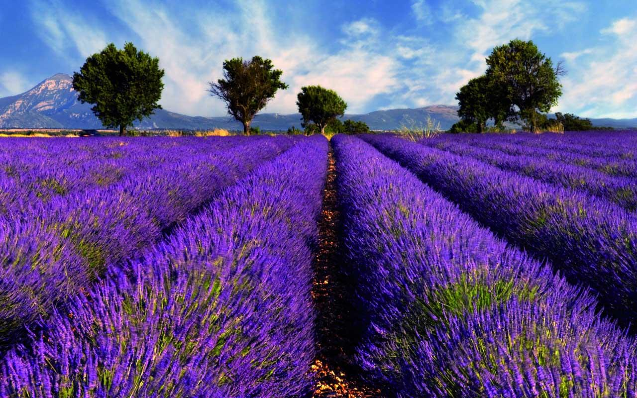Lavender Wallpaper   Android Apps on Google Play 1280x800