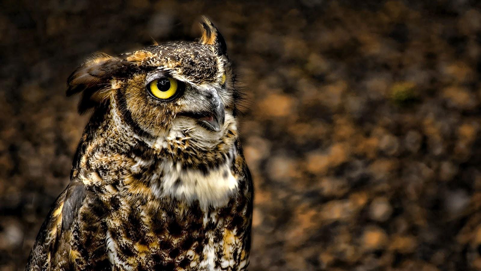 Hoot Owl Wallpaper - WallpaperSafari