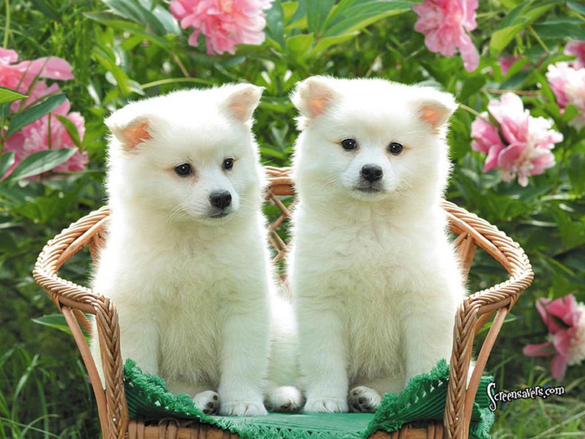Cute Puppies American Eskimo Wallpaper for your Computer Desktop 1152x864