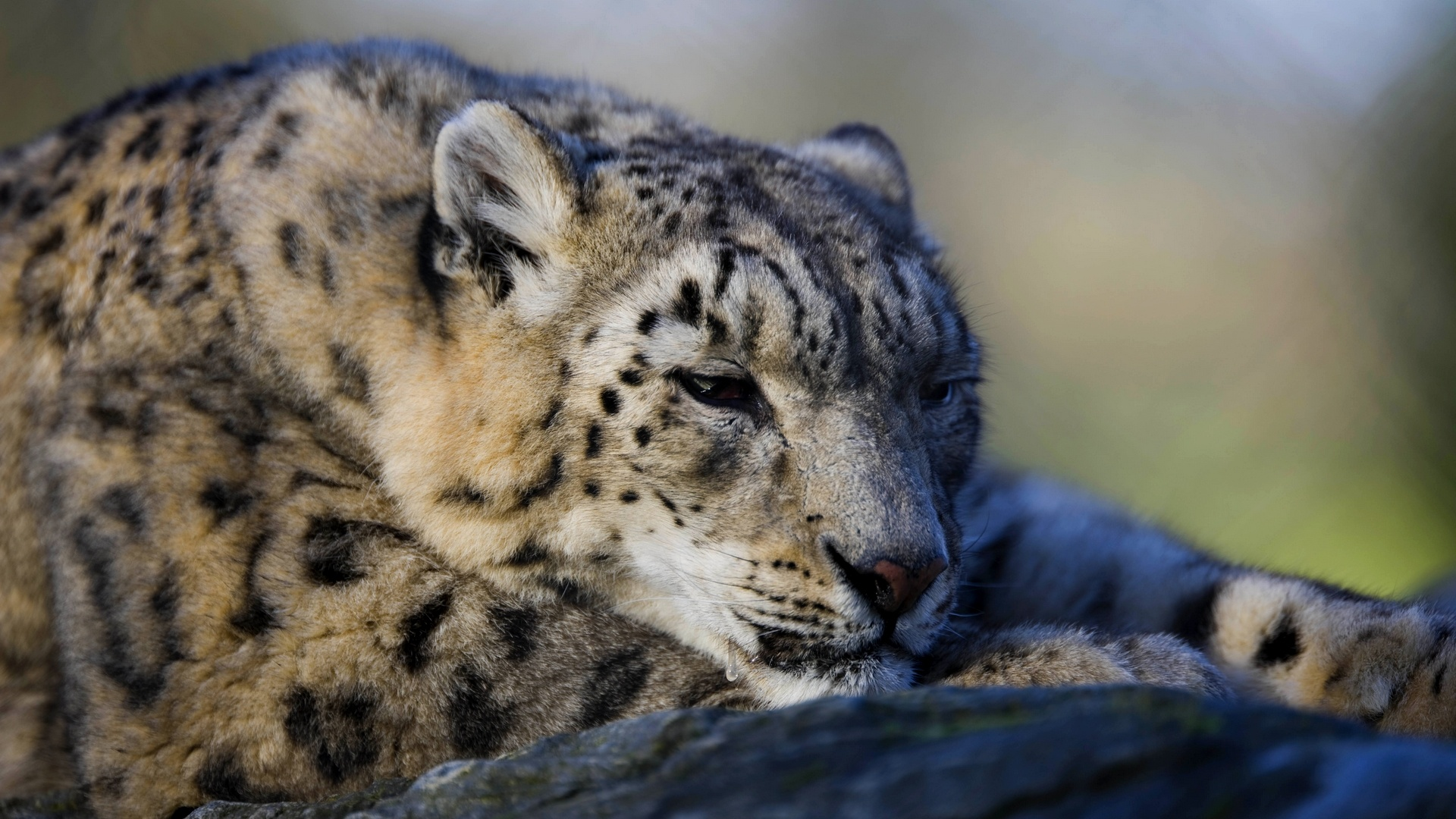 Free Download Snow Leopard Hd Wallpapers 1920x1080 For