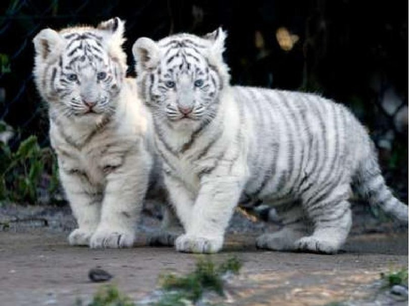 White Tigers Cubs Wallpaper White Tiger Cubs Wallpaper 812x606