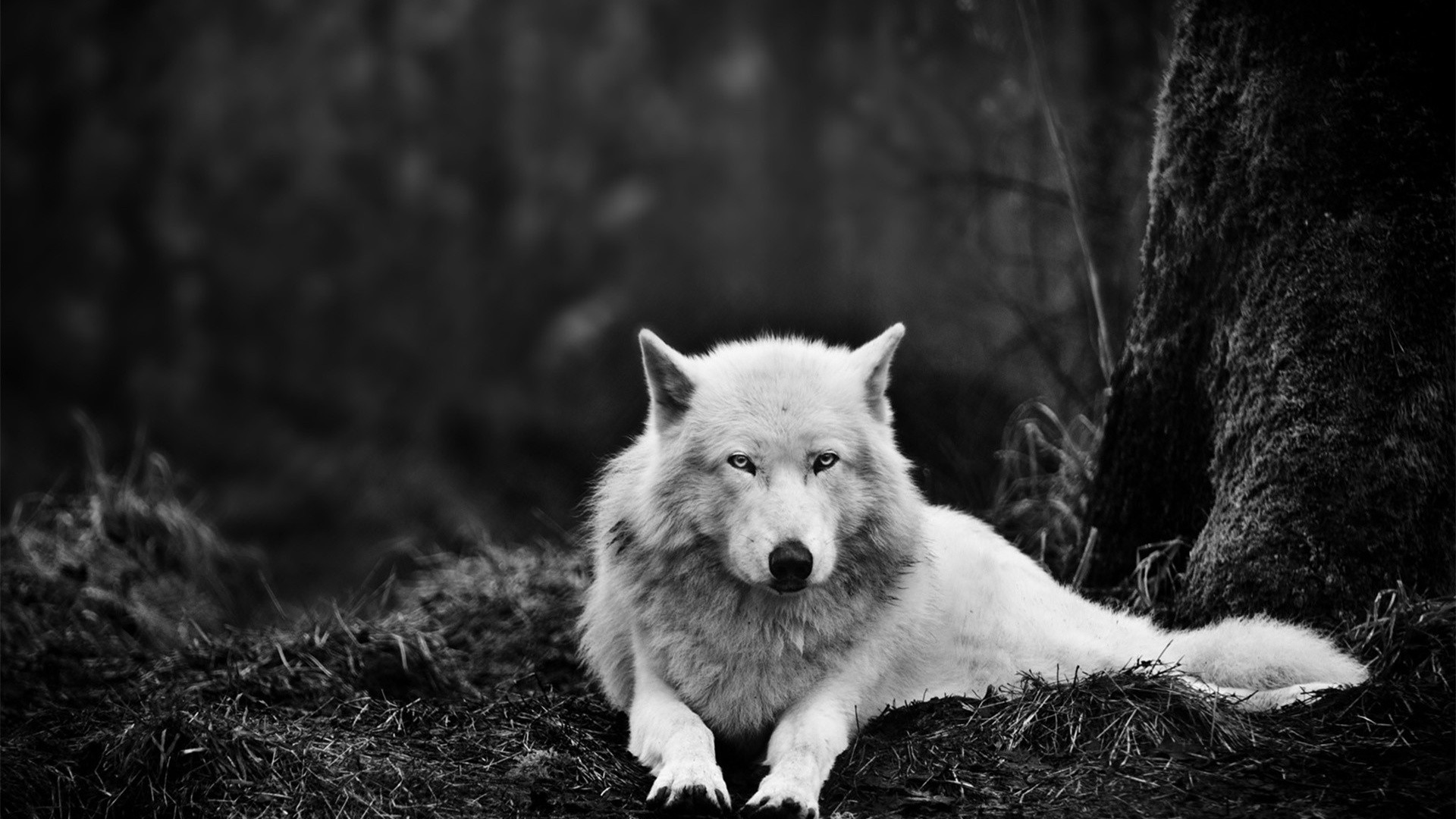Download White Wolf Wolves HD Wallpaper 2679 Full Size 1920x1080