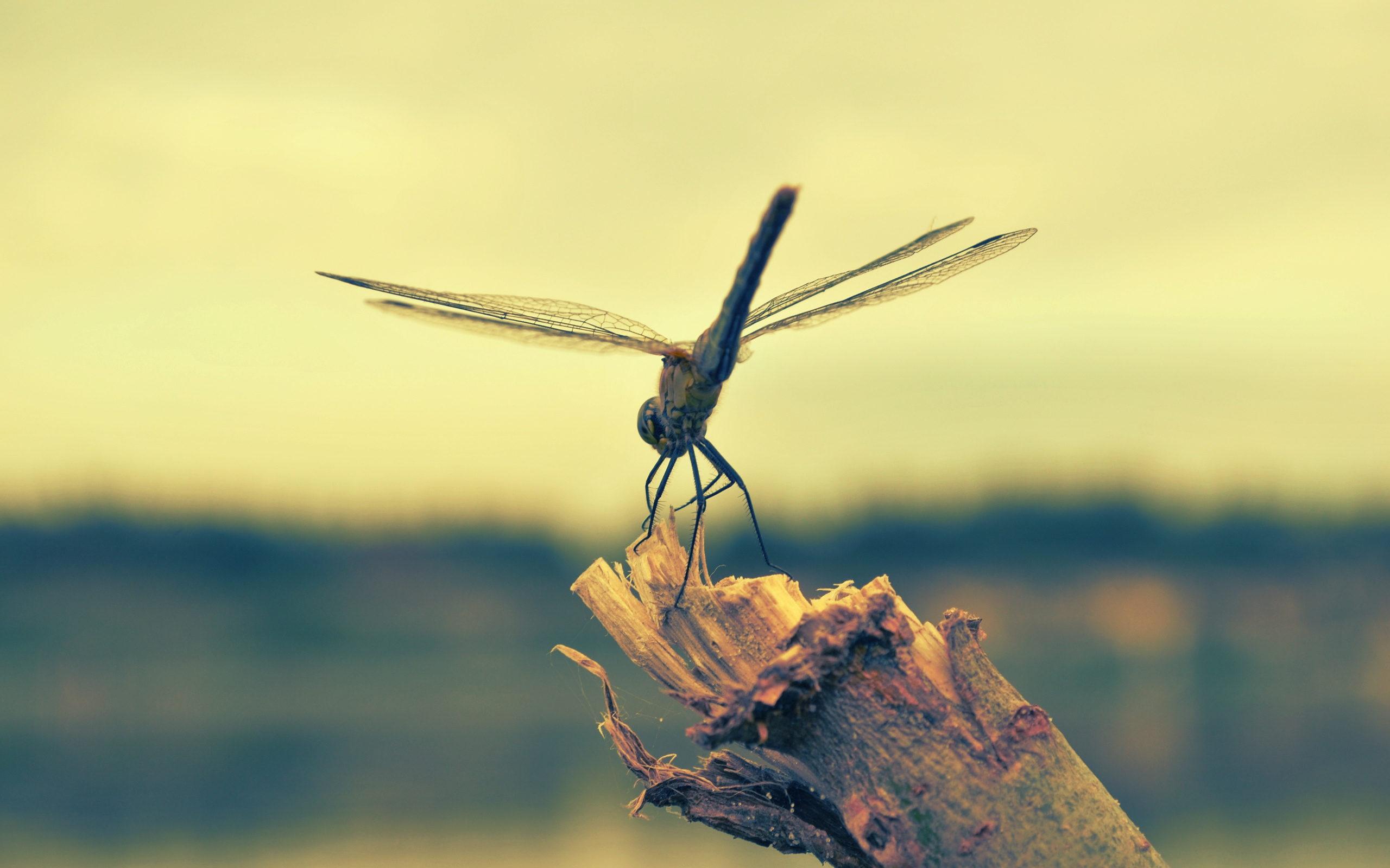 Dragonfly Backgrounds Download 2560x1600