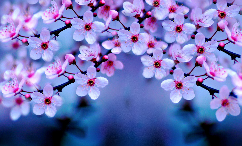 Cherry Blossom Wallpaper Night Desktop 1183 Wallpaper 3000x1805