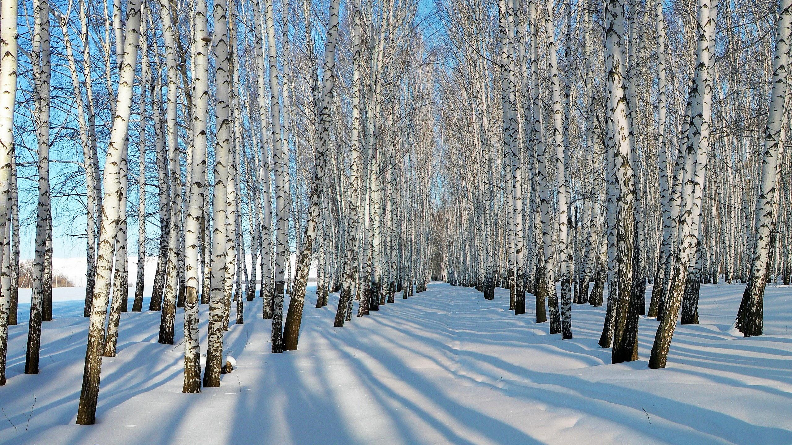 Winter Birch Trees wallpaper   1019964 2560x1440