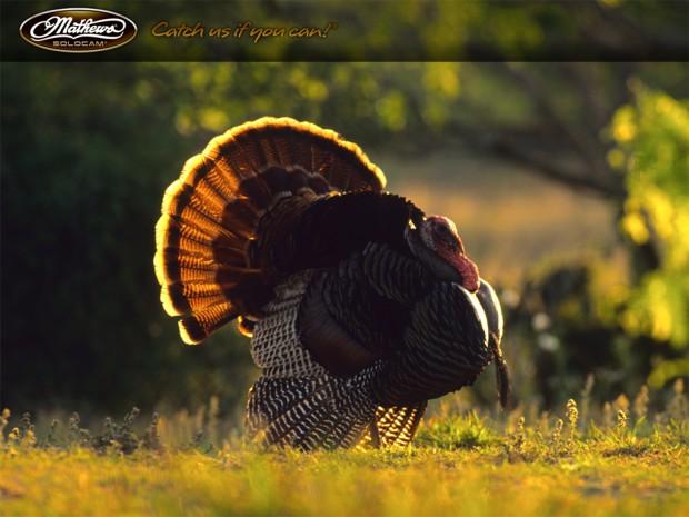 wild turkey wallpapers and screensavers wallpapersafari