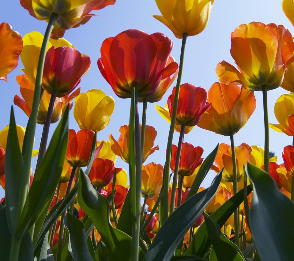 Tulip Wallpapers For Desktop