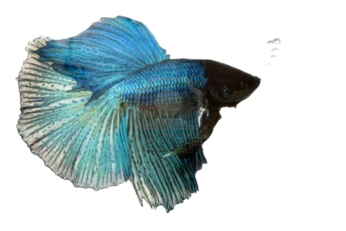 Wallpapers Amazing Colourful Betta Fish Photos Fighter Fish 1200x801