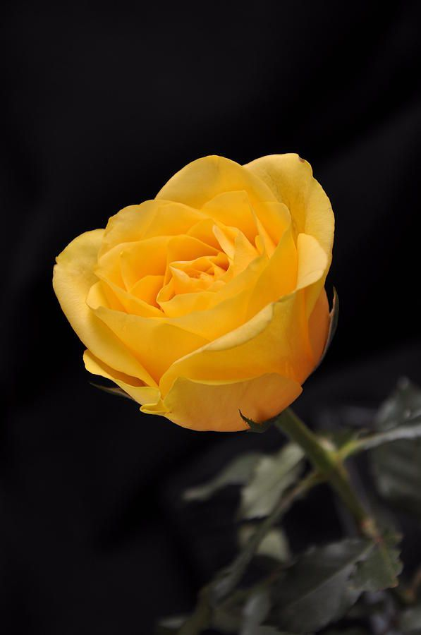 Yellow Roses Background Wallpapersafari