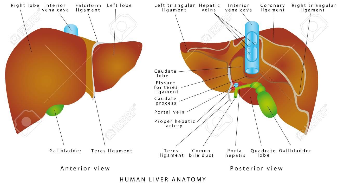 Liver Anatomy Gallbladder On A White Background The Gallbladder 1300x707