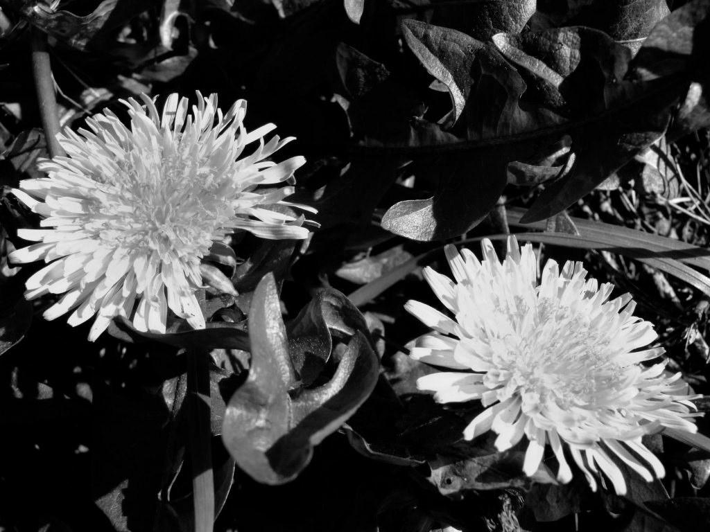 Dandelions Dandelion 6 Dandelion Gone To Seed Dandelions 3 1024x768