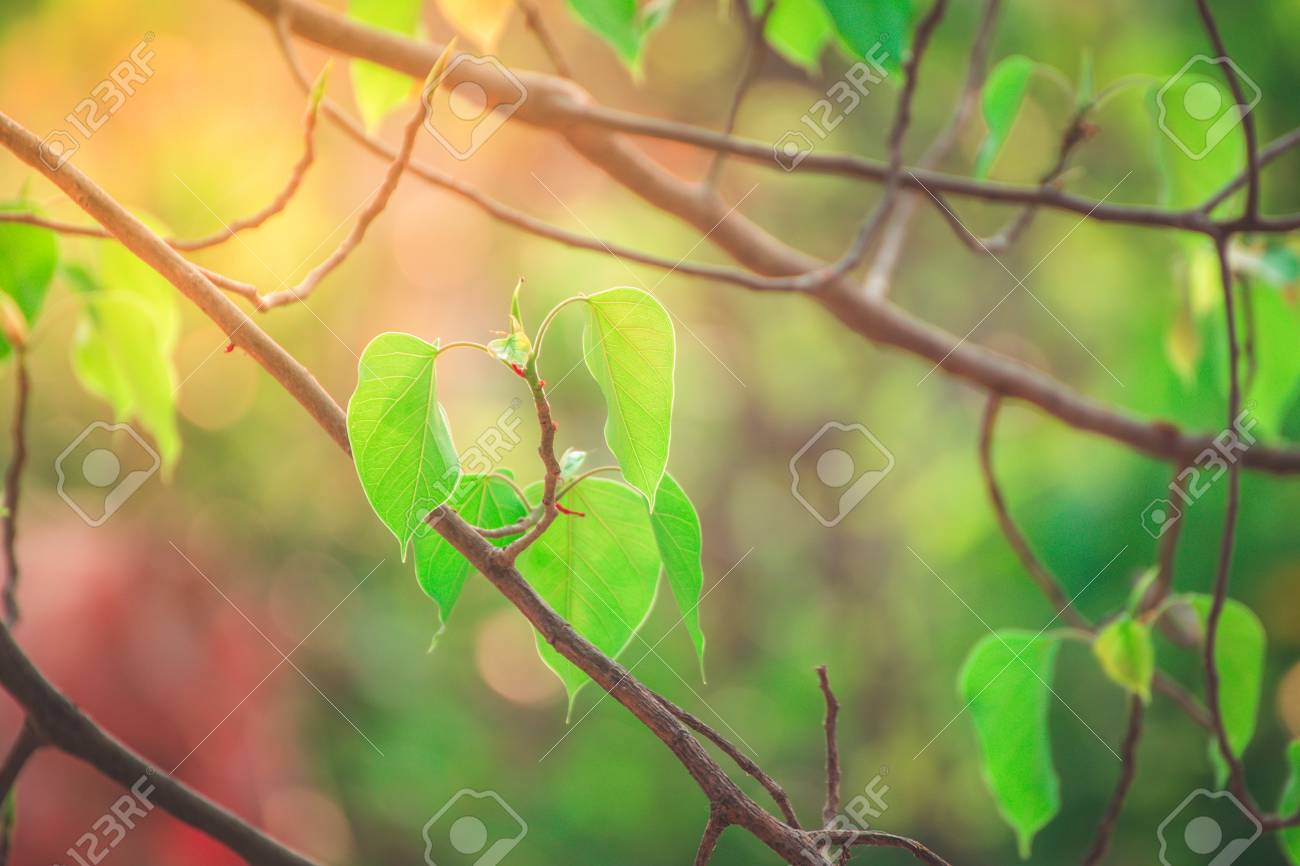 Beautiful Green Bo Leaf On Background With SunlightLeaves Of 1300x866
