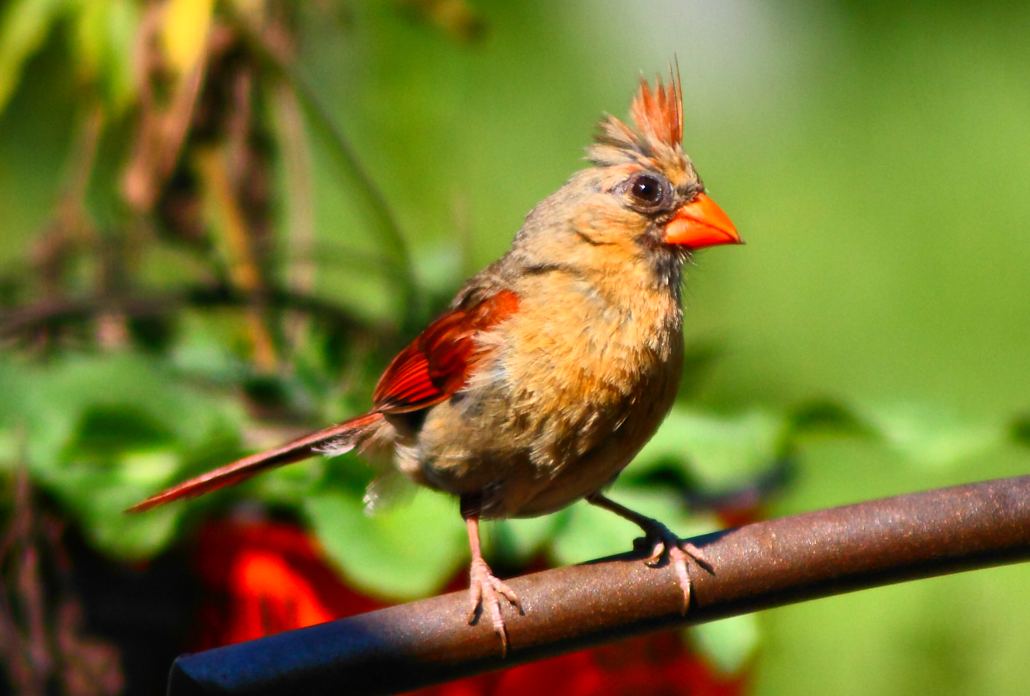 Wallpapers Female Cardinal Birds Birds Iphone Cardinal Birds 2100x1419