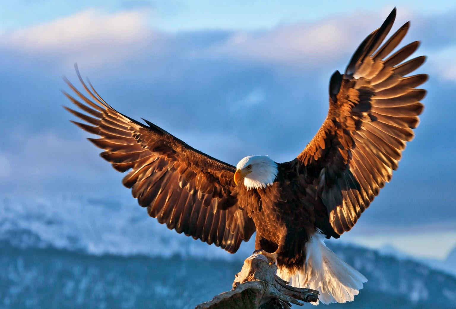 bald eagle wallpaper hd