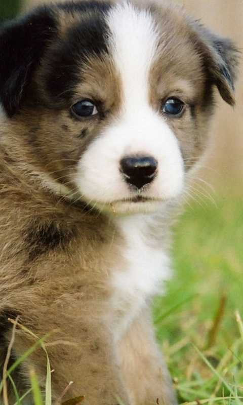puppy wallpapers and screensavers   wwwhigh definition wallpapercom 480x800