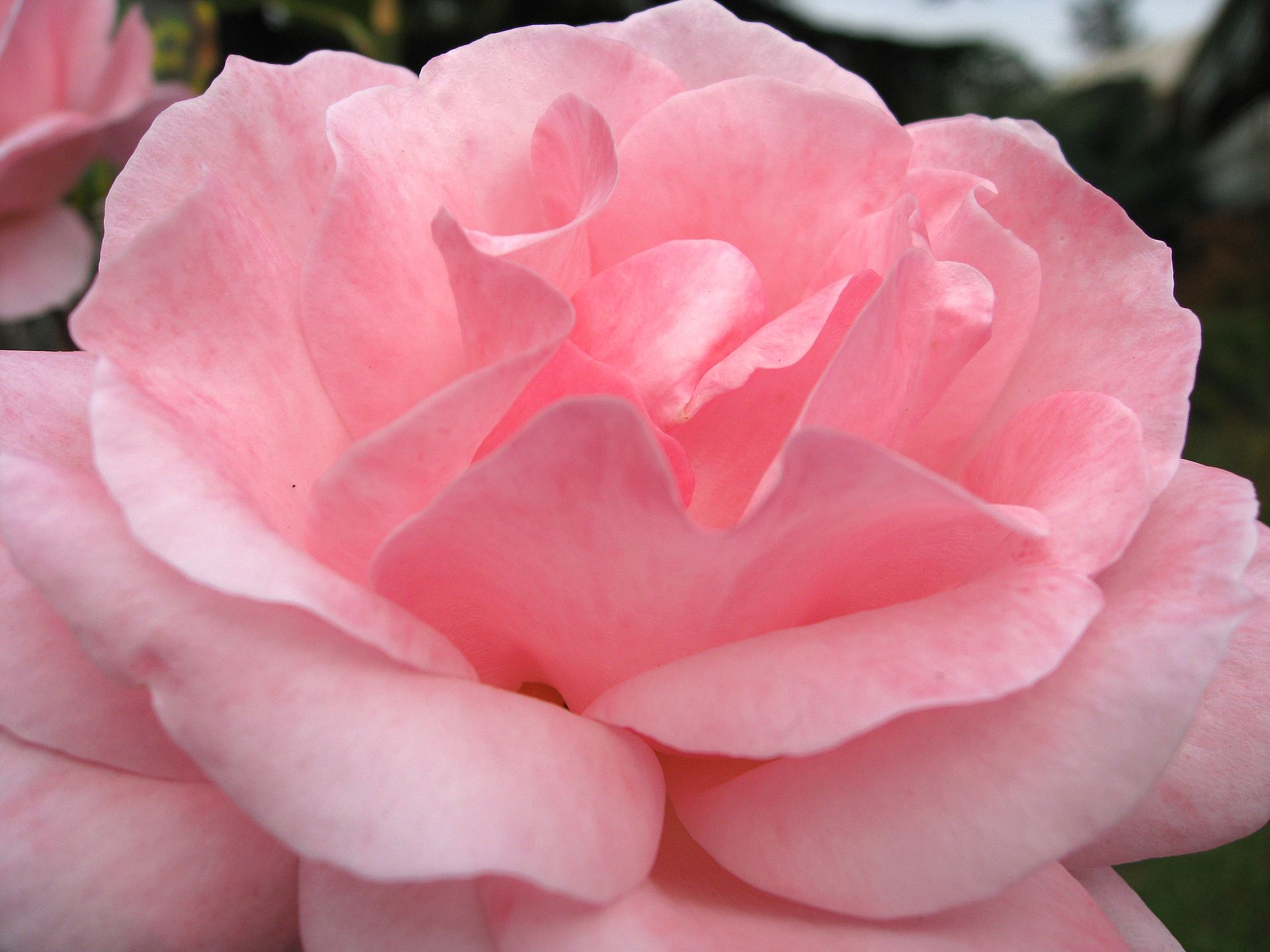 Rose Wallpaper 1920x1440