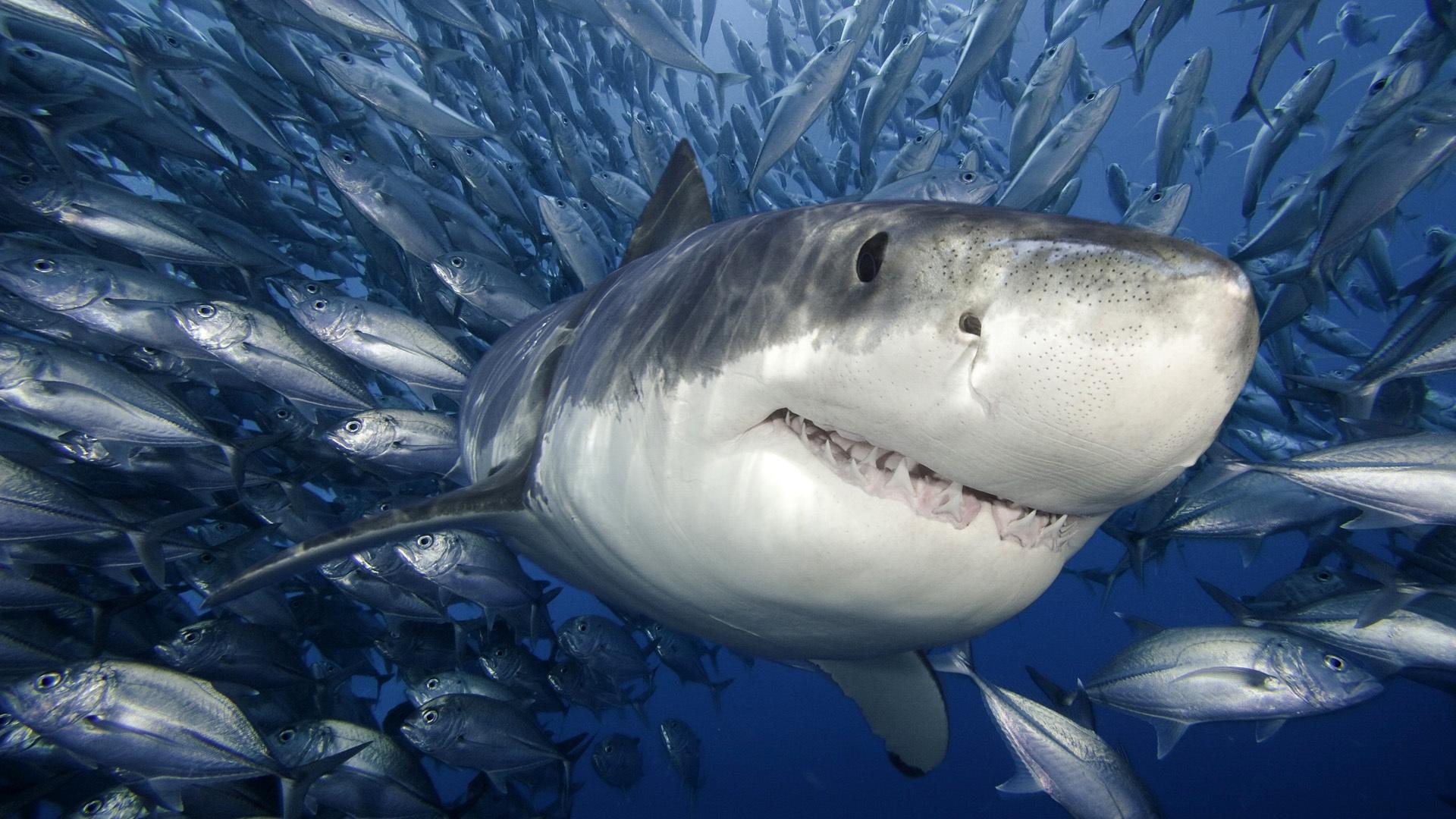 HD Megalodon Shark Week 2013 Wallpaper Wallpaper Download HD Megalodon 1920x1080