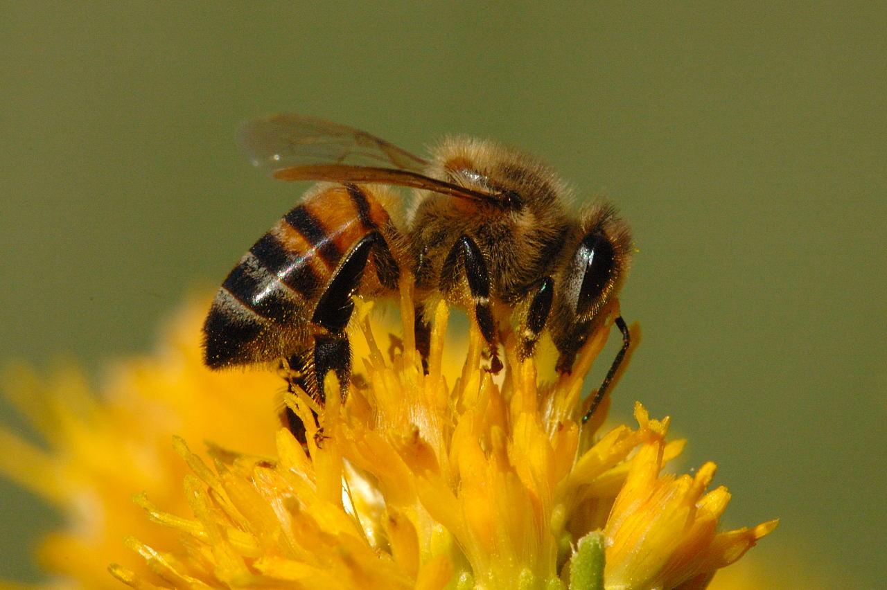 Honey Bee Pictures 1280x852