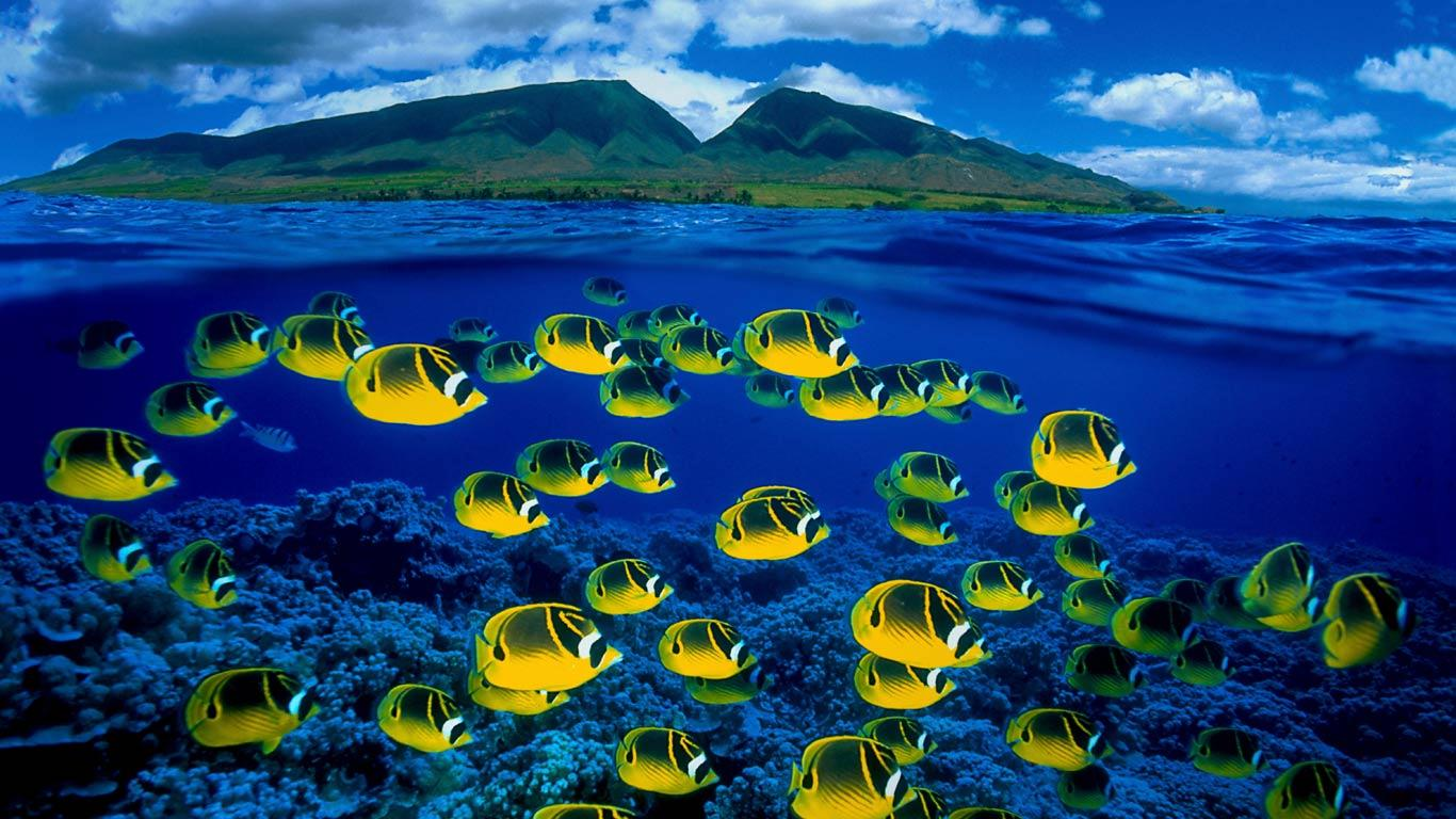 Bing fotos Composite image of raccoon butterflyfish underwater Maui 1366x768
