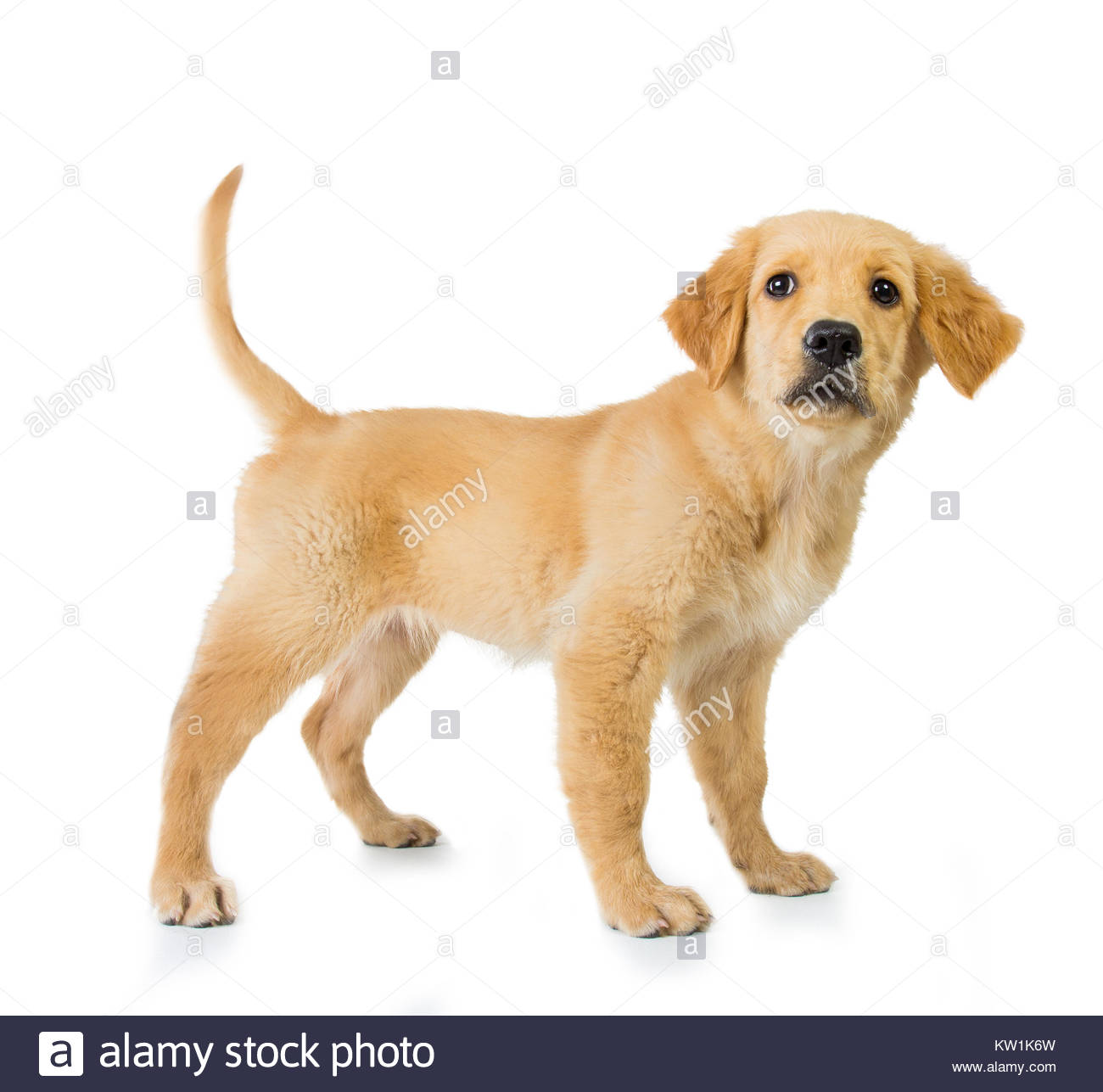 Golden retriever dog standing isolated in white background Stock 1300x1287