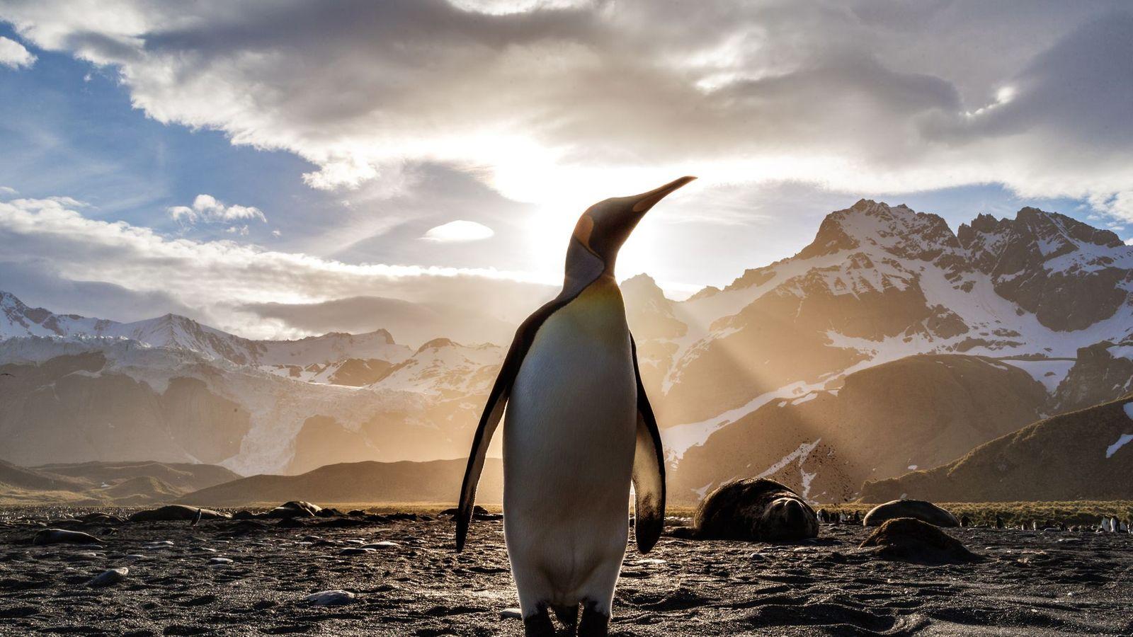 King Penguin Sunrise HD Wallpaper   Wallpaper Stream 1600x900