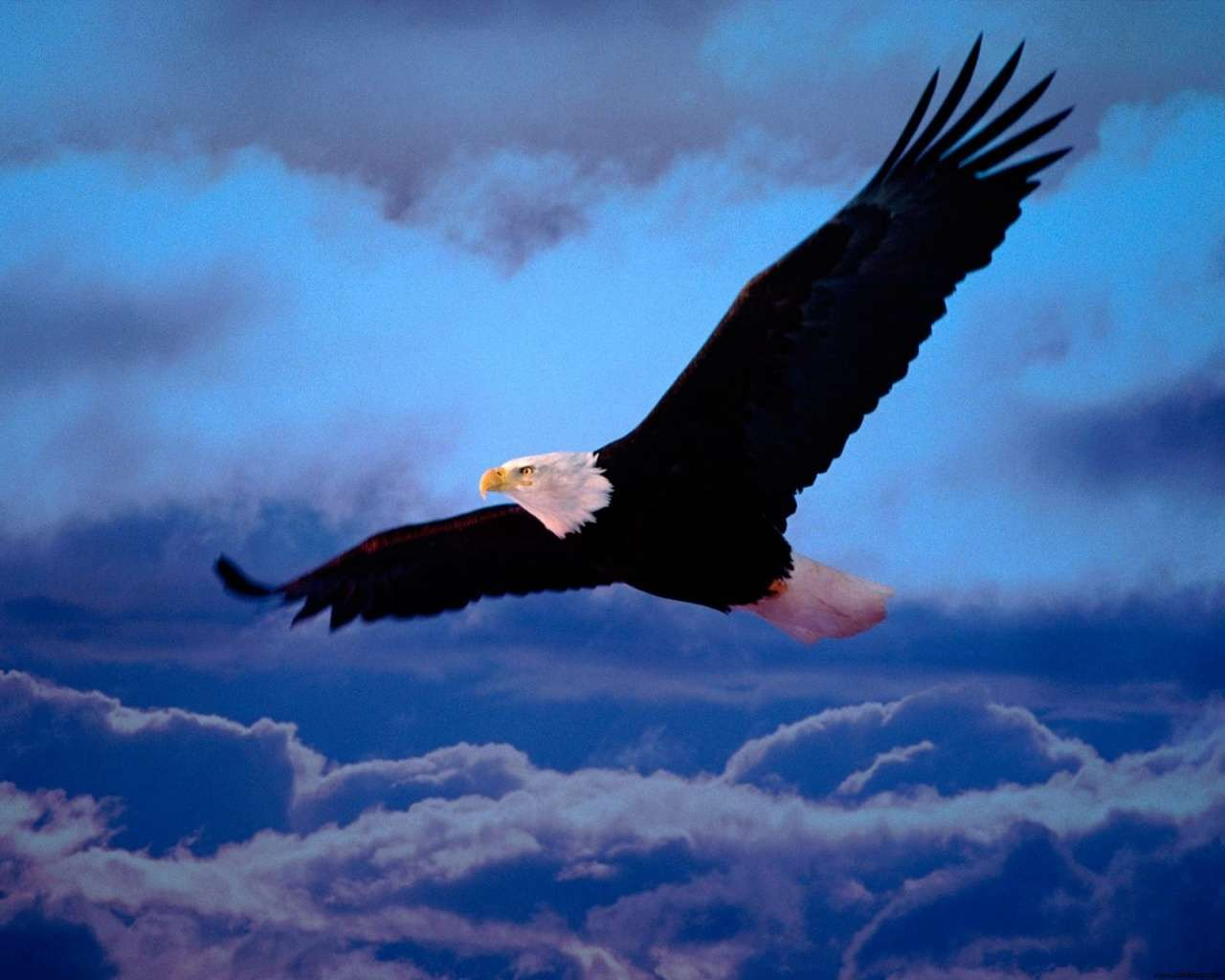 View Of Blad Eagle Freedom Wings Hd Wallpapers Hd Wallpapers 1280x1024