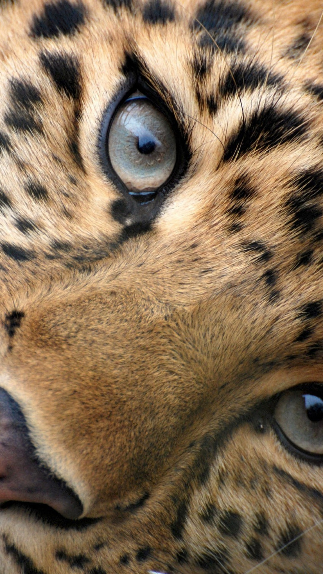 Big cat eyes   Best htc one wallpapers and easy to download 1080x1920