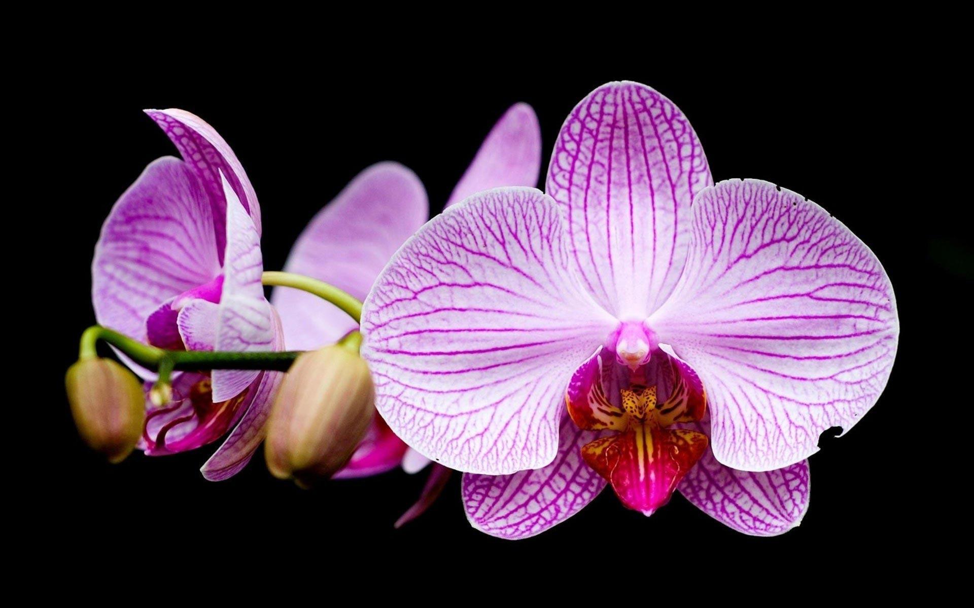 hd orchid wallpaper  wallpapersafari
