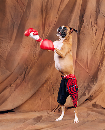 Cute Boxer photo and wallpaper Beautiful Cute Boxer pictures 413x510
