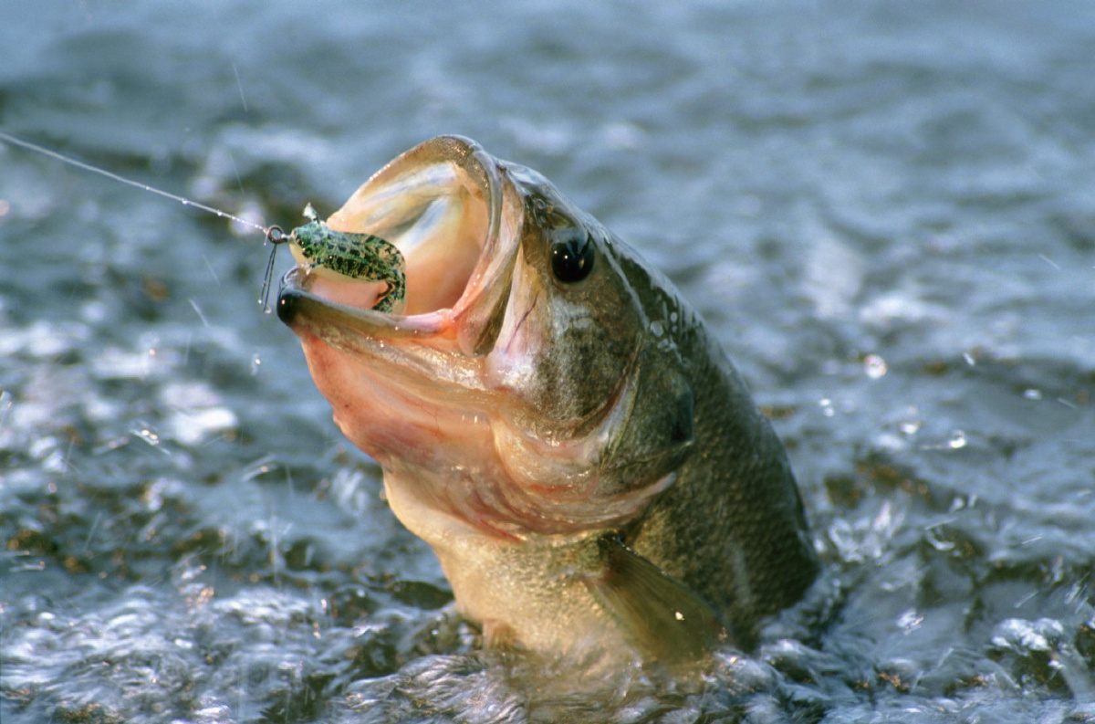 Smallmouth bass wallpaper wallpapersafari for Wallpaper fish in water